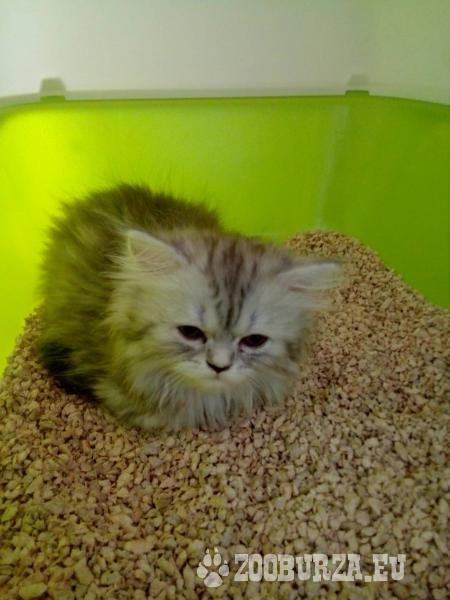 Perzské mačiatko