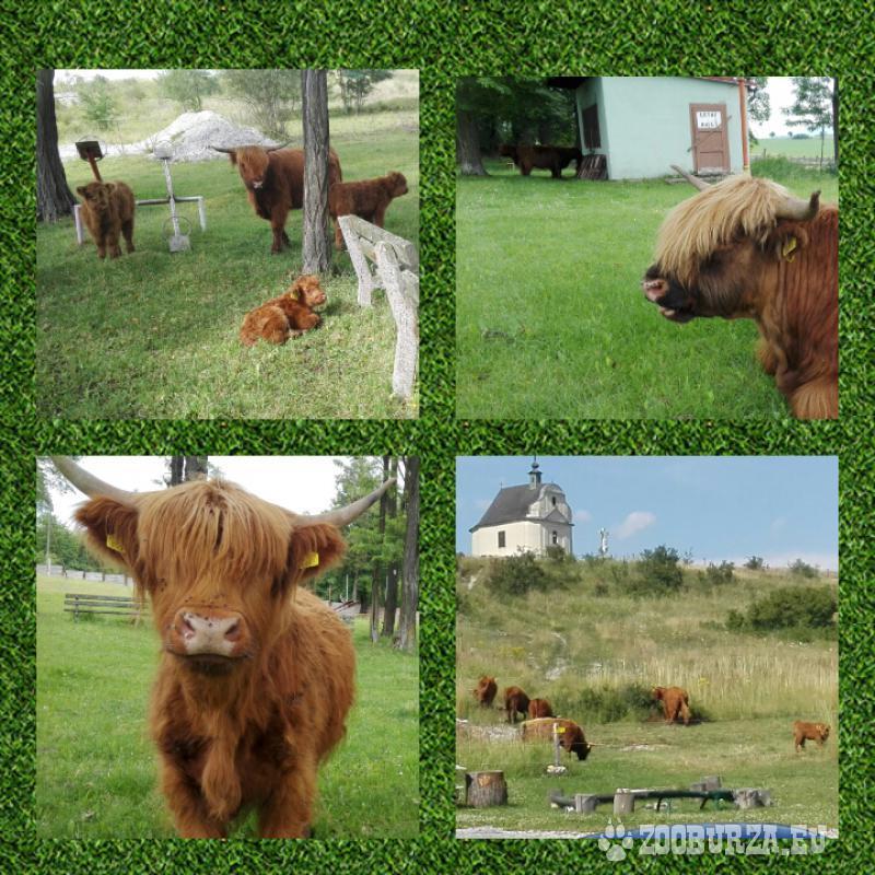 HIGHLAND cettle(škótsky dobytok) jalovice