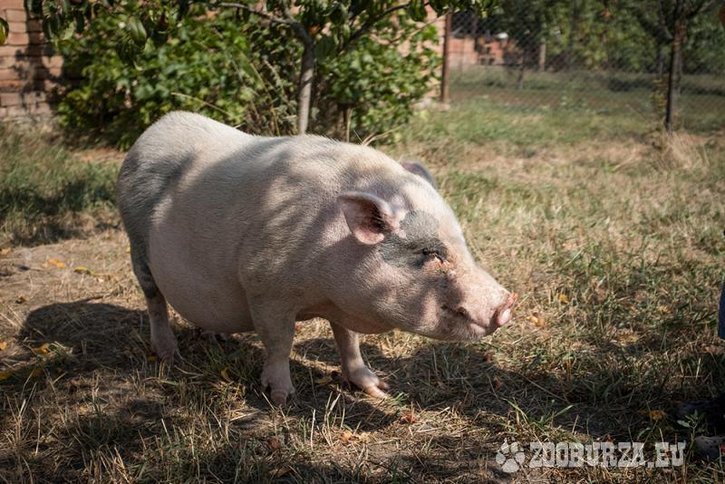 Göttingenská prasata