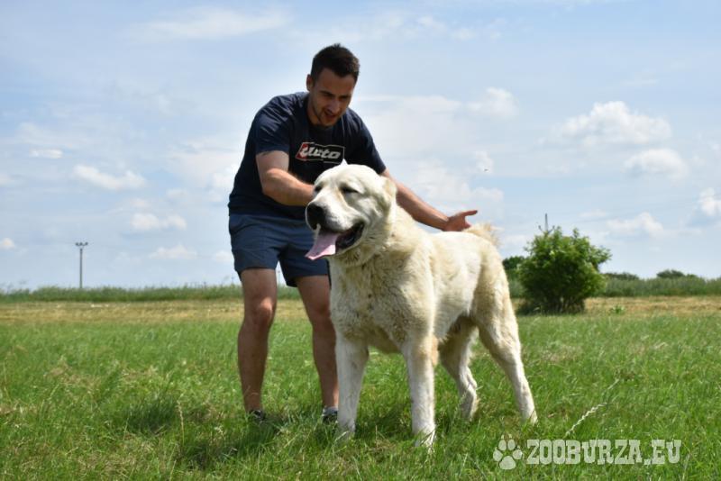 Stredoázijský ovčiak
