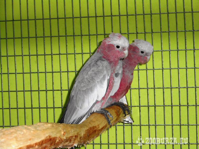 Kakadu růžový prodám odchov 2018