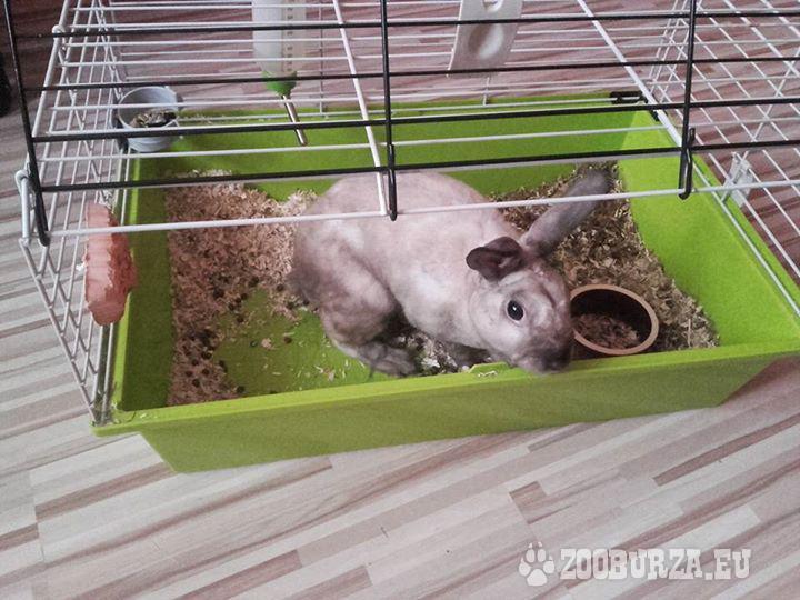 Zakrslí zajačik