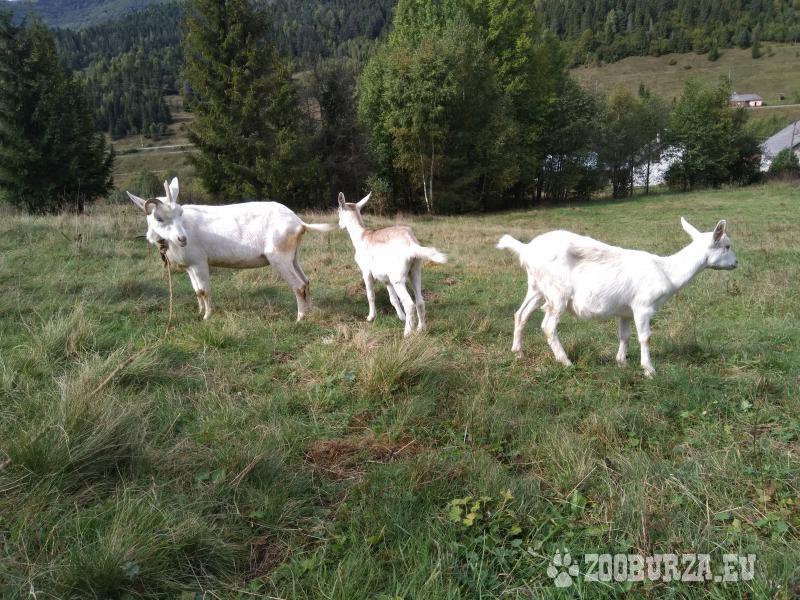 Predam kozu s dvomi mladymi