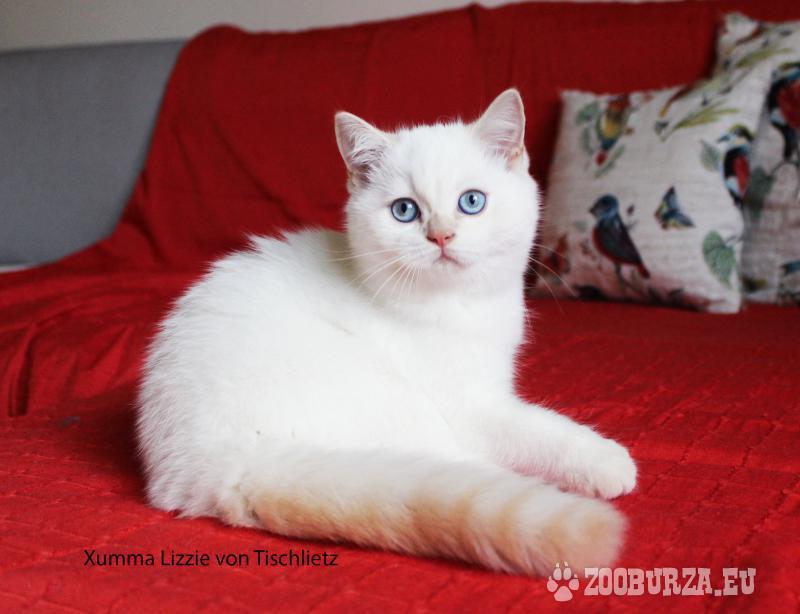 Britská colorpoint kočička s PP