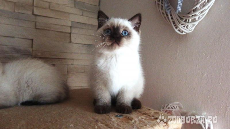 Britská koťátka Colorpoint s PP