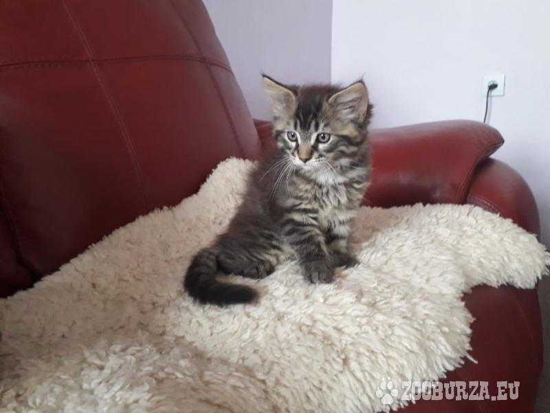Predám mačiatko Mainská mývalia mačka