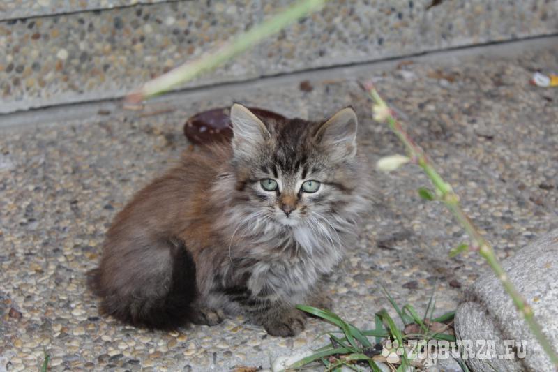 dlhosrsta mačička