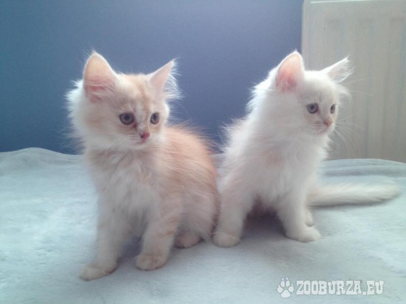 Perzské mačiatka