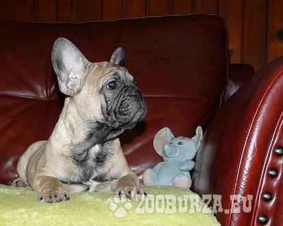 Francúzsky buldoček s PP (pedigree) - psík