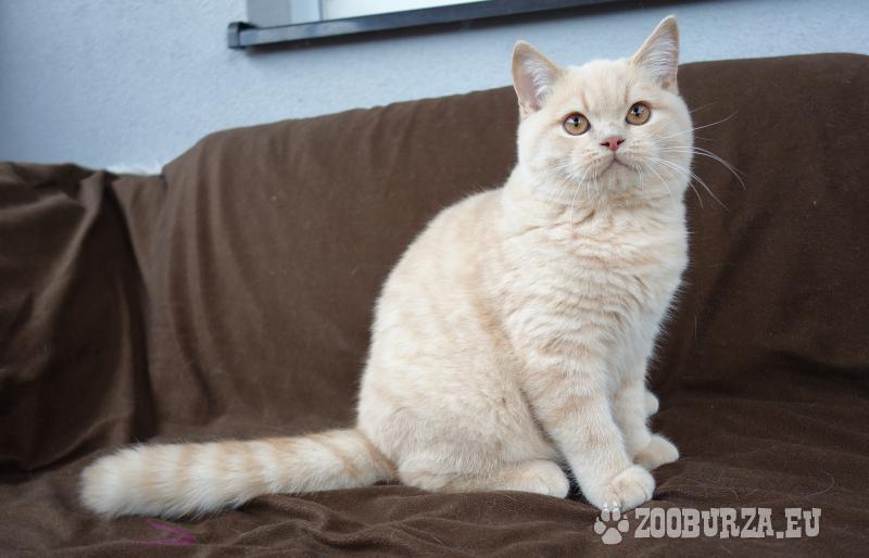 Britské krémové kotě kocourek s PP