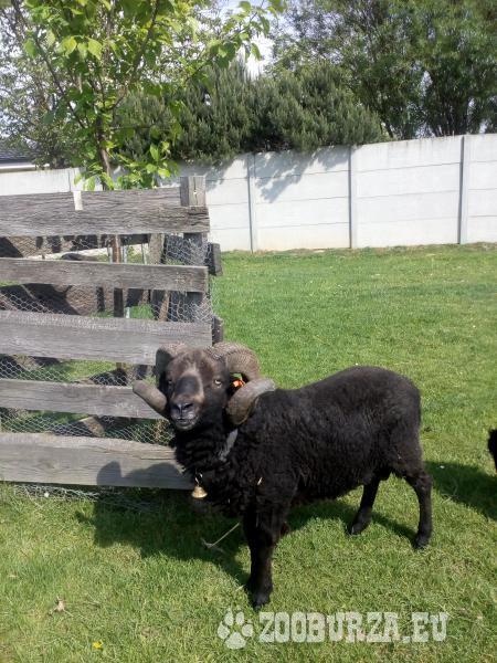 Quessantská ovce