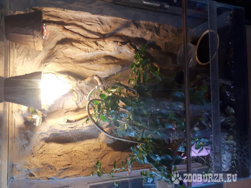 Chameleon včetně terária