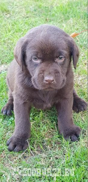 Labrador čokoládovy
