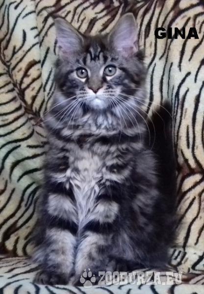 Mainská mývalí kočka prodám luxusní koťata s PP