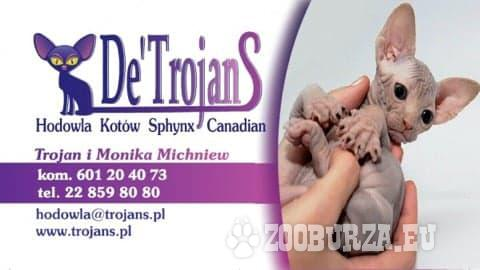 DeTrojanS*Sphynx*Sfinks*bezwłos
