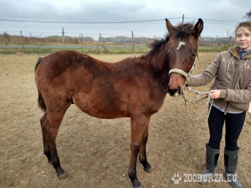 QUARTER HORSE žrebec