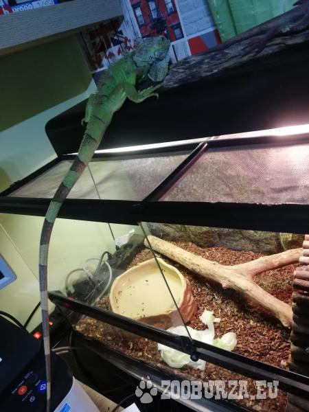 Leguan zelený