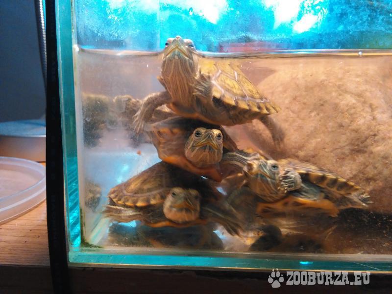 korytnačka vodná