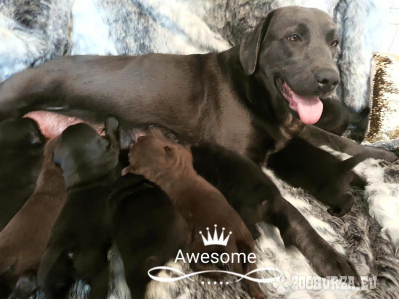 Exklusivne Labrador steniatka Rodicia s Pp