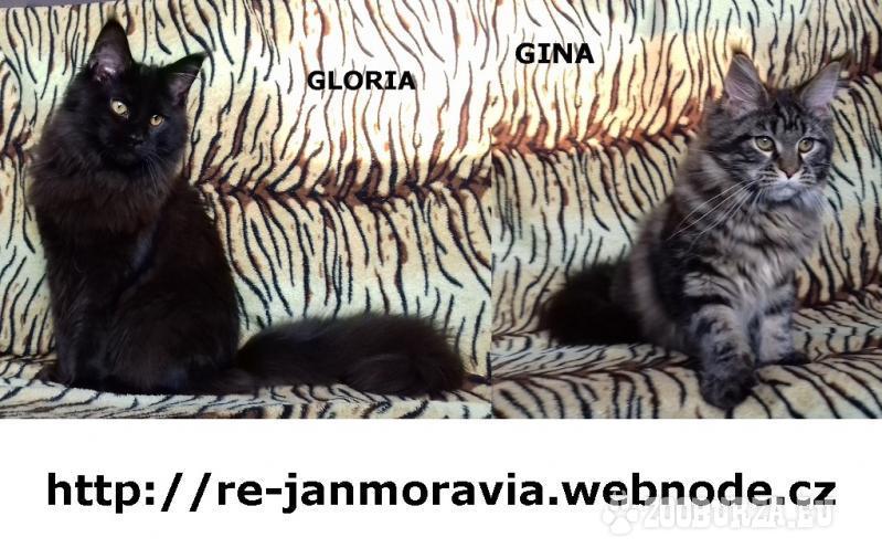 Mainská mývalí kočka luxusní koťata s PP