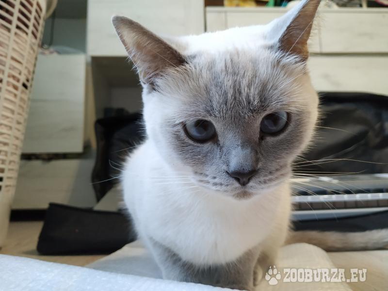 Hľadáme britského kocúra na krytie pre mačičku