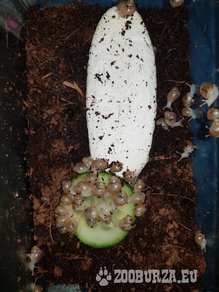 Africký slimák - Lissachatina fulica, Albino body
