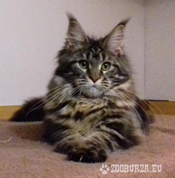 Mainská mývalí kočička s PP na prodej