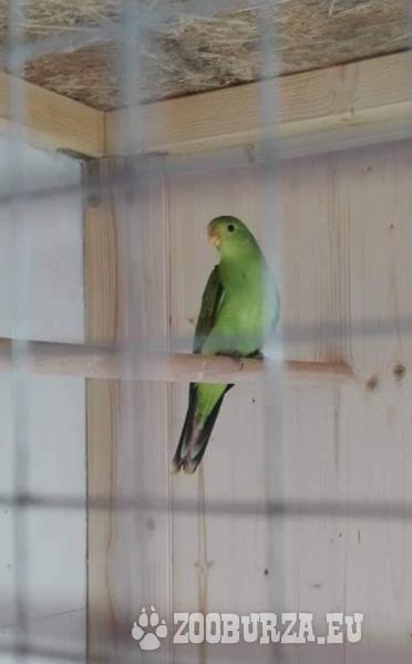 Papagáj červenokridly