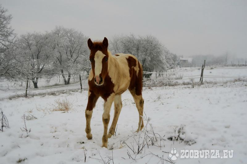 American Paint Horse žrebček