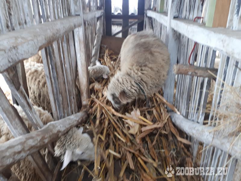 predaj ovce