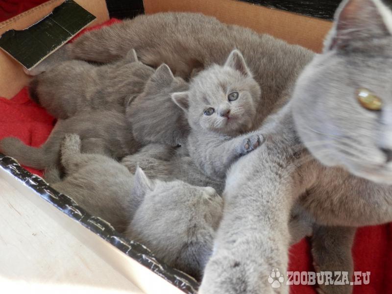 Koťátka britská modrá krátkosrstá