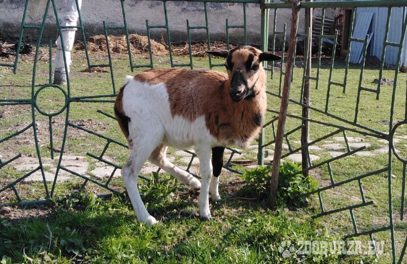 Kamerunská ovečka