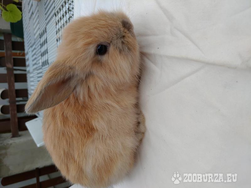 Zakrslý králíček