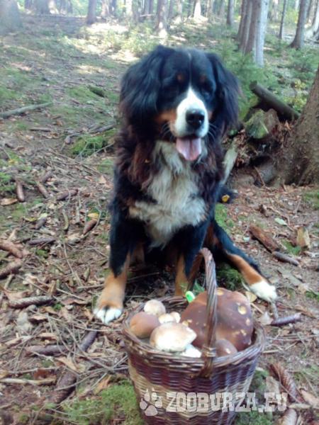 Bernsky salasnicky pes,darujem