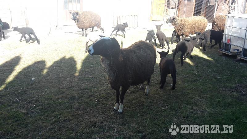 Predám ovce Zwartbles a barana Americký Suffolk