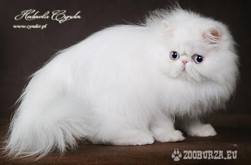 Steven - niebieskooki perski kociak