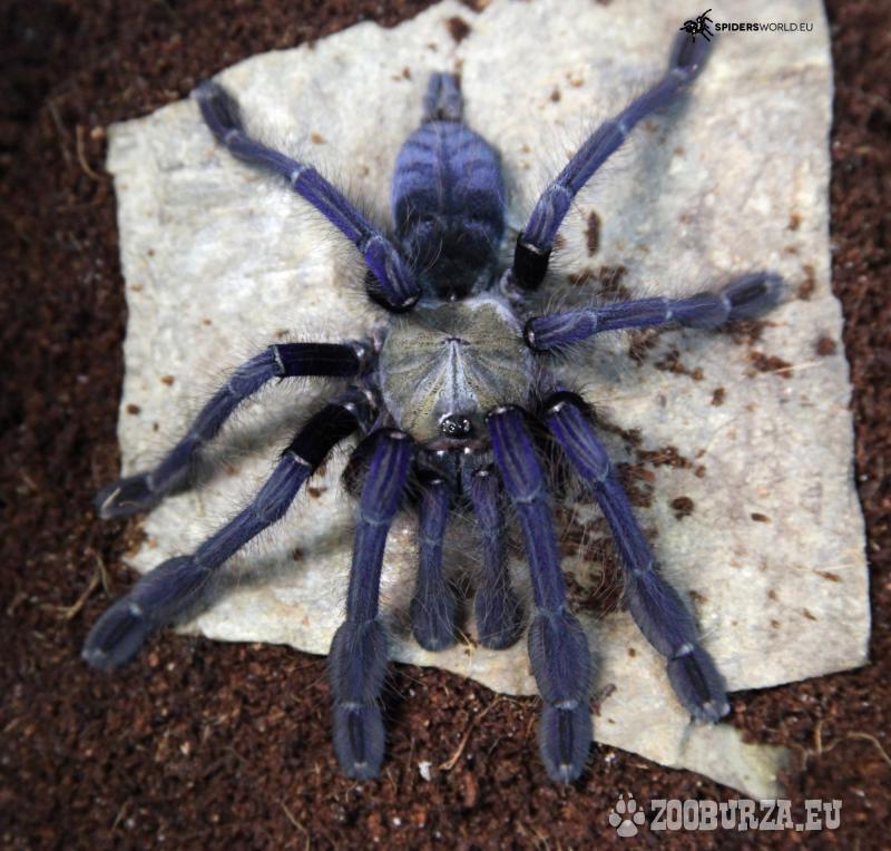 Predám pavúky