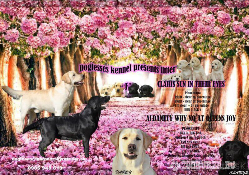Labrador šteniatka s PP