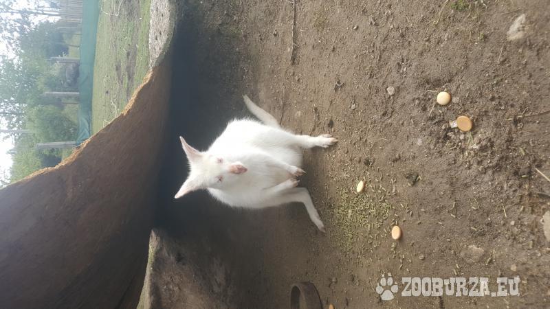 mláďata klokana rudokrkého