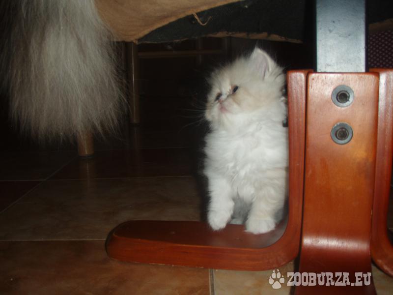 Perské koťe
