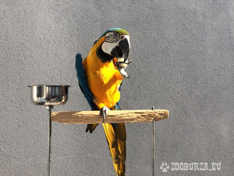 Kék sárga Ara Ararauna