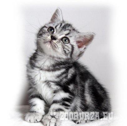 Britské kotě Whiskas - holka