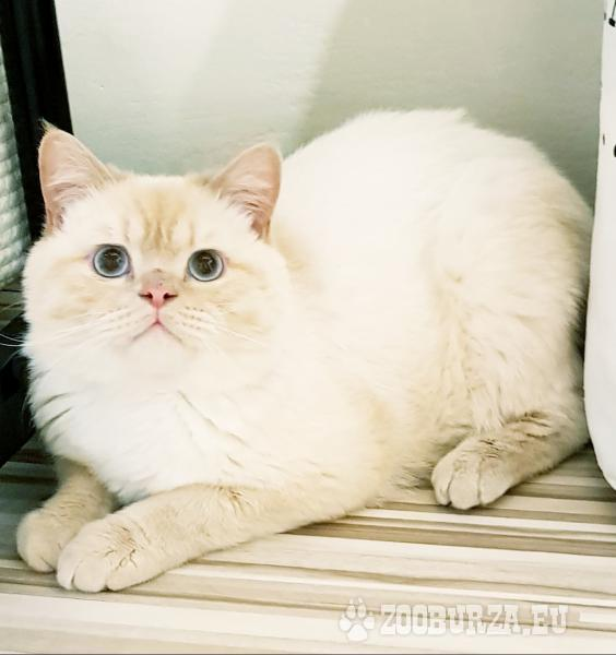 Britska mačka
