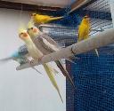 Eladó papagáj