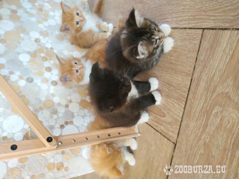 Predám mačiatka Mainská Mývalia