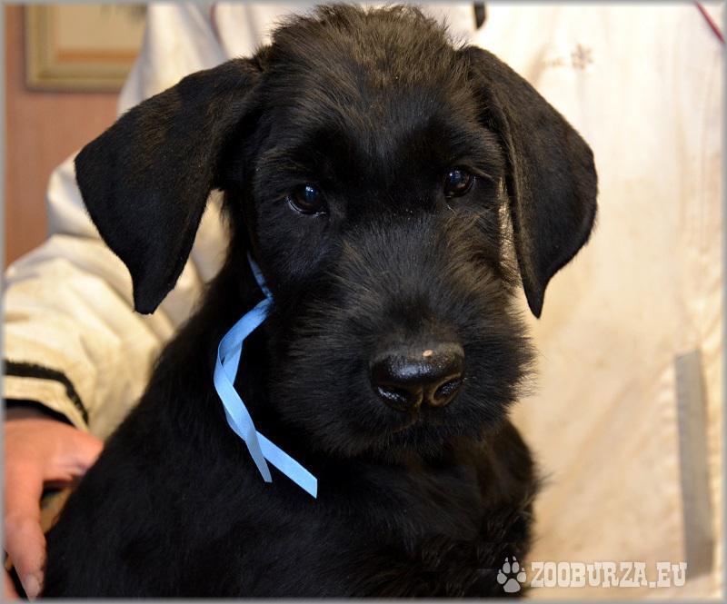 štěně knírač velký černý s PP - pejsek
