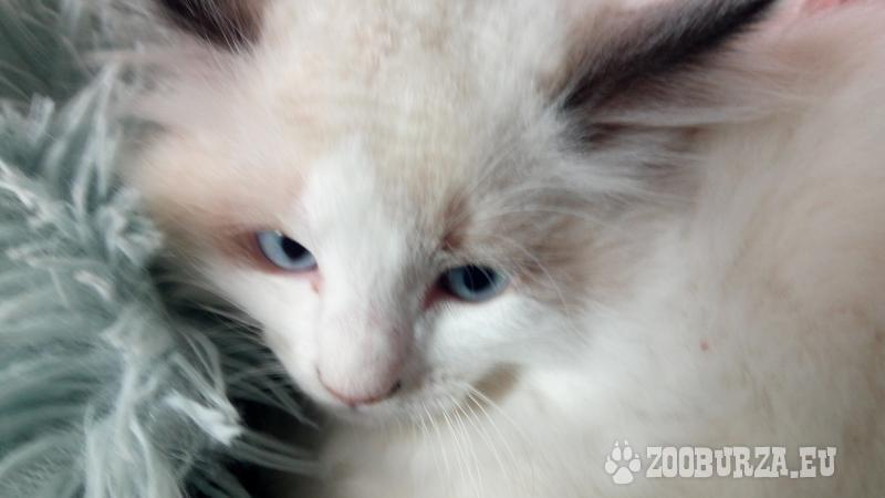 koťátka Ragdoll