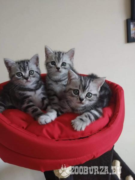 Britské krátkosrsté mačiatka s PP