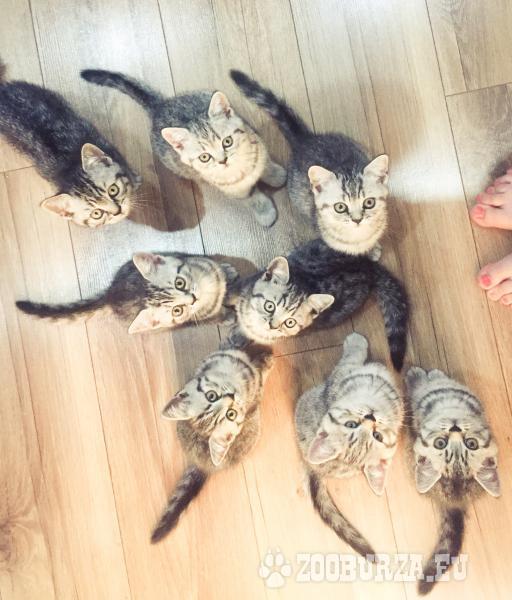 Britske whiskas maciatka