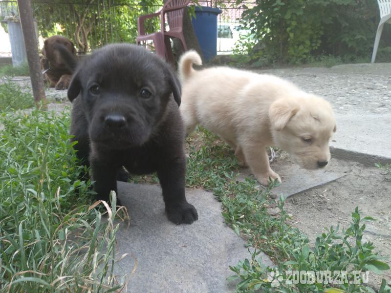 Darujem šteniatka Labradora